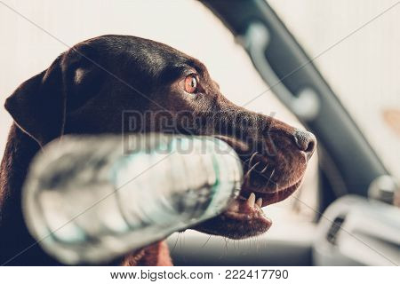 chocolate labrador retriever playing the bottle at a car with blur background , focus only eye , color retro style