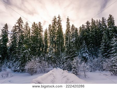 path in snowy spruce forest. beautiful nature scenery in Winter Carpathians. location Synevyr National park, Ukraine