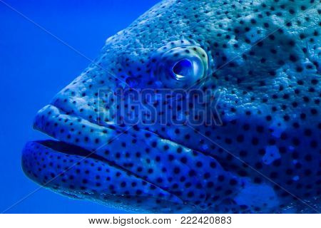 Grouper Up Close