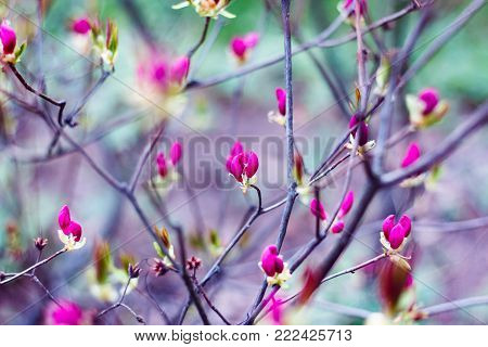 Bright pink buds of spring flowers on blurred background in blossom garden. Blooming trees in springtime. Spring Background. Selective focus.