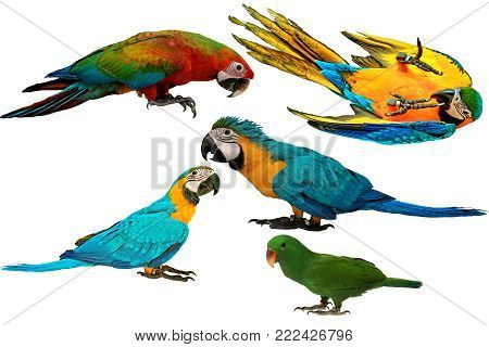 Isolated lovely and Colorful parrots as 2 male blue and yellow macaw parrot , red and blue macaw parrot and male eclectus parrot isolated on white background.
