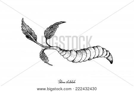 Root and Tuberous Vegetables, Illustration Hand Drawn Sketch of Fresh Chinese Artichoke or Stachys Affinis Plant Isolated on White Background.