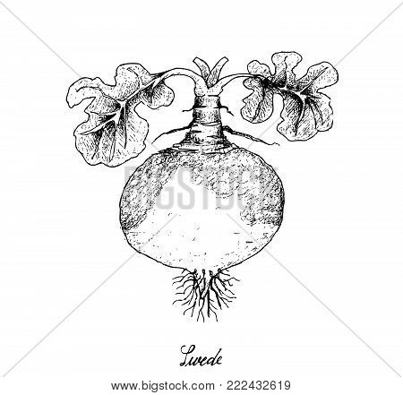 Root and Tuberous Vegetables, Illustration Hand Drawn Sketch of Fresh Swede or Brassica Napus Plants Isolated on White Background.