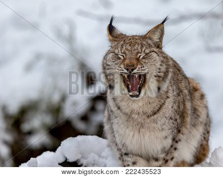 Eurasian lynx, Lynx lynx, sitting in the snow in Norway, yawning and showing its teeth and tounge