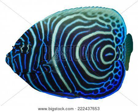 Juvenile Emperor Angelfish fish isolated on white background