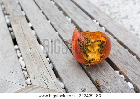 Group of Yellow-jacket Common wasp (European wasp) eating fresh red apple on wooden background, Italy, Europe (Vespula vulgaris)