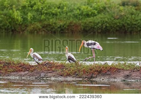 Painted stork large wader birds with yellow beak pink legs resting in wetland, Thailand, tropical Asia (Mycteria leucocephala)