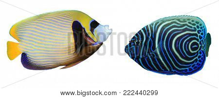 Emperor Angelfish: adult and juvenile fish isolated on white background