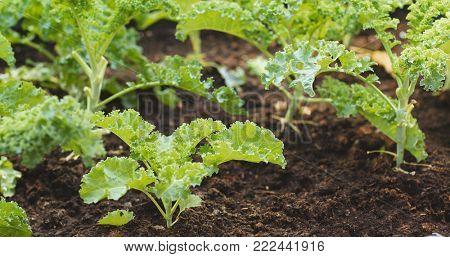Fresh kale in the garden, Roof top building garden