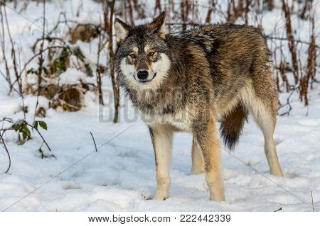 Grey wolf, Canis lupus, standing and looking towards camera,