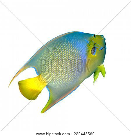 Queen Angelfish fish isolated on white background