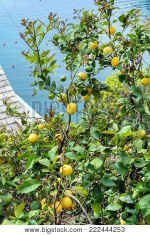 lemon trees with lemons