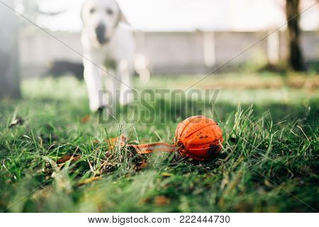 Watch dog finds a ball, training outdoor