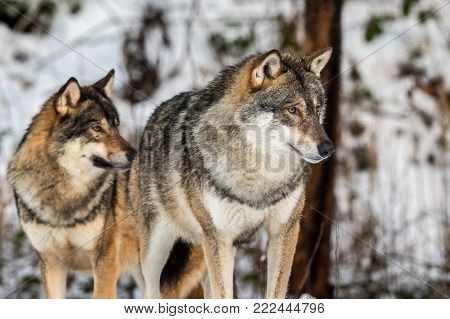 Grey wolf, Canis lupus, two beautiful wolves standing in a snowy winter forest. Also known as timber wolf or timberwolf.