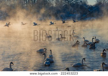 Beautiful white whooping swans swimming in the nonfreezing winter lake. The place of wintering of swans, Altay, Siberia, Russia.