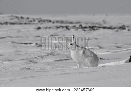 Arctic hare (Lepus arcticus) sitting on snow and shedding its winter coat, Nunavut Canada
