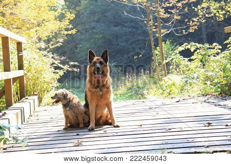 German Shepard on the green field close up