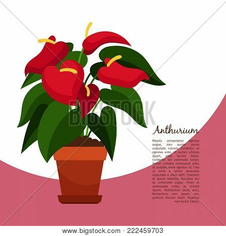 Anthurium indoor plant in pot banner template, vector illustration