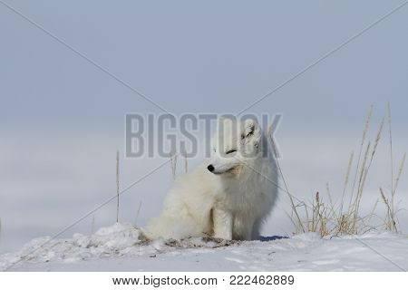 Arctic fox (Vulpes Lagopus) waking up from a nap and staring off into the distance, with snow on the ground, near Arviat Nunavut Canada