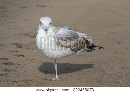 one legged seagull standing on the beach
