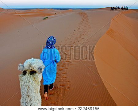 Camels travel on the dunes of the Sahara in Morocco.