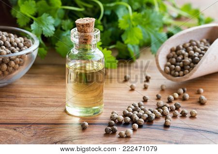 A bottle of coriander essential oil with coriander seeds and fresh cilantro leaves in the background