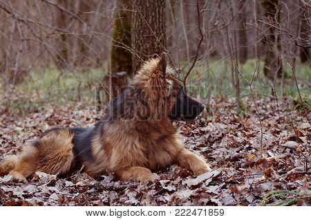 Close-up portrait of Beautiful young german shepherd dog lying in the forest.