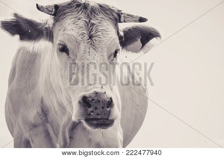 White Cow Observing with a Jaded Eye