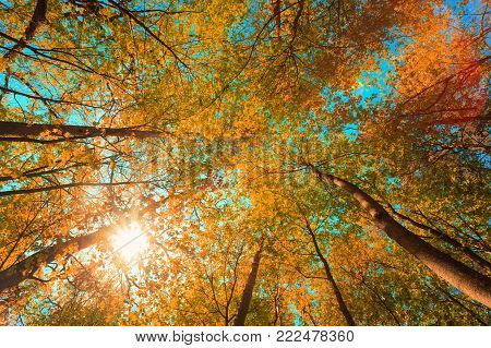 Autumn Sun Shining Through Canopy Of Tall Maple Trees. Upper Branches Of Tree With Yellow Orange Colors Foliage. Woods Background