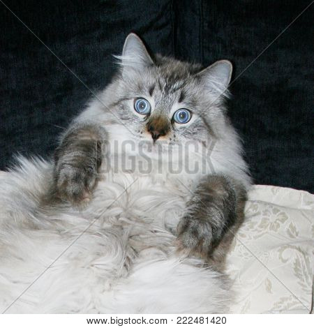 The scared funny fat cat lying on the sofa and looking at the camera. Purebred Siberian, Neva Masquerade cat. poster
