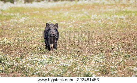 Adult wild boar standing in a meadow of daisies.