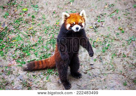 Red Panda. Red Panda stands on its hind legs.Red Panda closeup