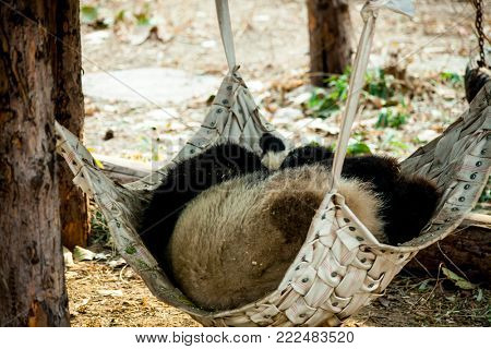 Giant Panda close-up. A giant Panda sleeps in a hammock in the zoo. China.