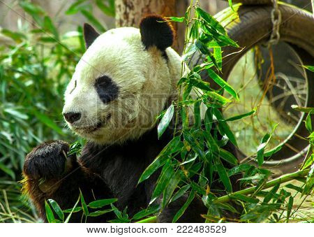 Giant Panda close-up. Panda eating shoots of bamboo.