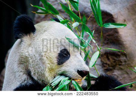 Giant Panda close-up. Panda eating shoots of bamboo.
