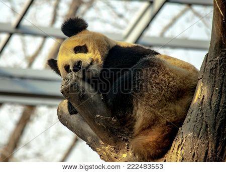 Giant Panda sleeping in a tree. Panda closeup