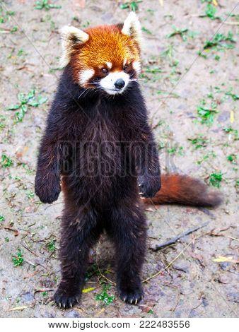 Red Panda. Red Panda stands on its hind legs.Red Panda closeup.