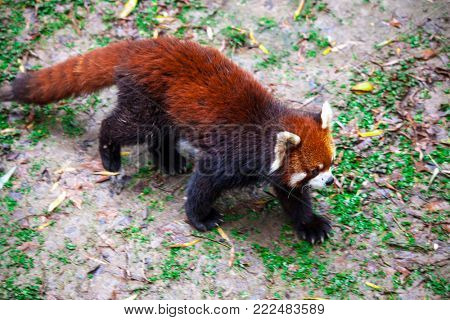 Red Panda. The male red Panda is on the meadow . China.
