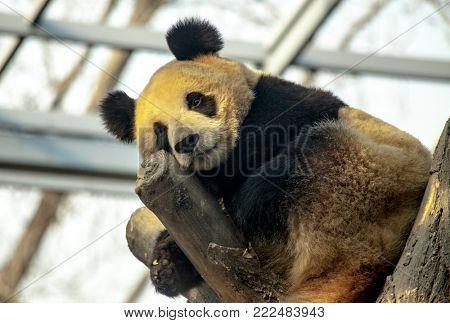 Giant Panda sleeping in a tree. Panda closeup.