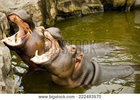 A couple of hippos in the river. The hippos opened their mouths waiting for food.