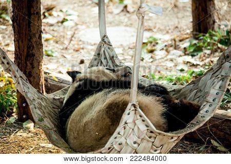 A giant Panda sleeps in a hammock in the zoo. China.