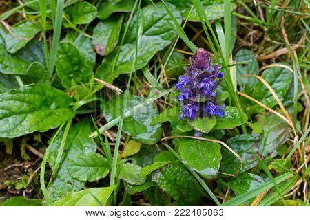 Ajuga Bugleweed purple hairy flower growing on ground, also called Ground pine, Carpet bugle in Austria, Europe