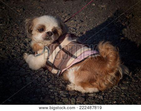 Pretty young shih tzu , The dogs are so cute.