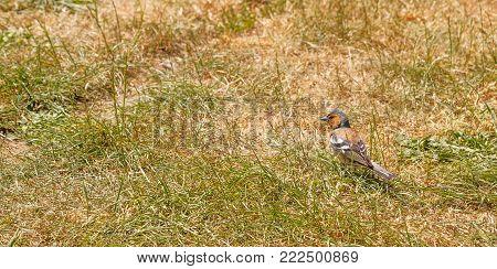 Bird - Male Chaffinch (Fringilla coelebs Linnaeus)
