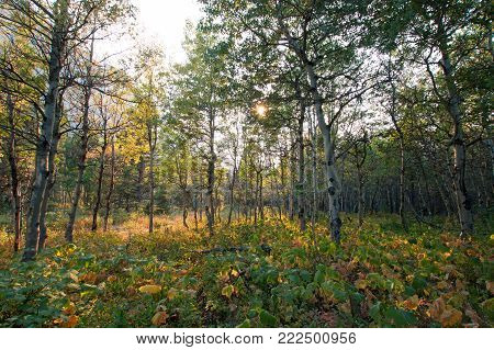 ASPEN TREE GROVE IN SUNLIGHT ON THE SWIFTCURRENT HIKING TRAIL NEAR FISHERCAP LAKE IN THE MANY GLACIERS REGION OF GLACIER NATIONAL PARK IN MONTANA UNITED STATES