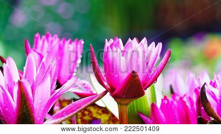 Beautiful lotus lilly purple tone  flower pink nature