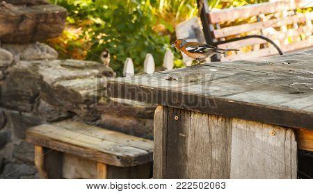 Bird - Male Chaffinch (Fringilla coelebs Linnaeus) on the wood table
