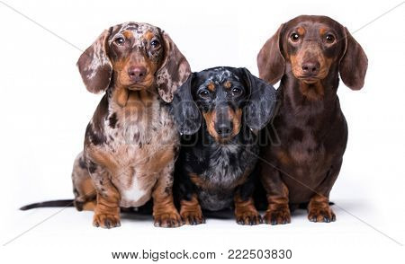 Three dogs of dachshunds of rare colors