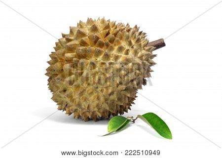 Durian and Durian leaf  isolated on white background, exotic fruit, king of fruits  in southeast Asia. The durian is distinctive for its large size, strong odour, and formidable thorn-covered rind.