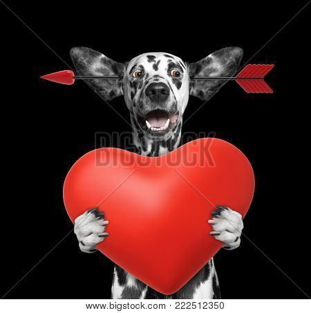 Cute dalmatian dog is falling in love on valentines day. Isolated on black background